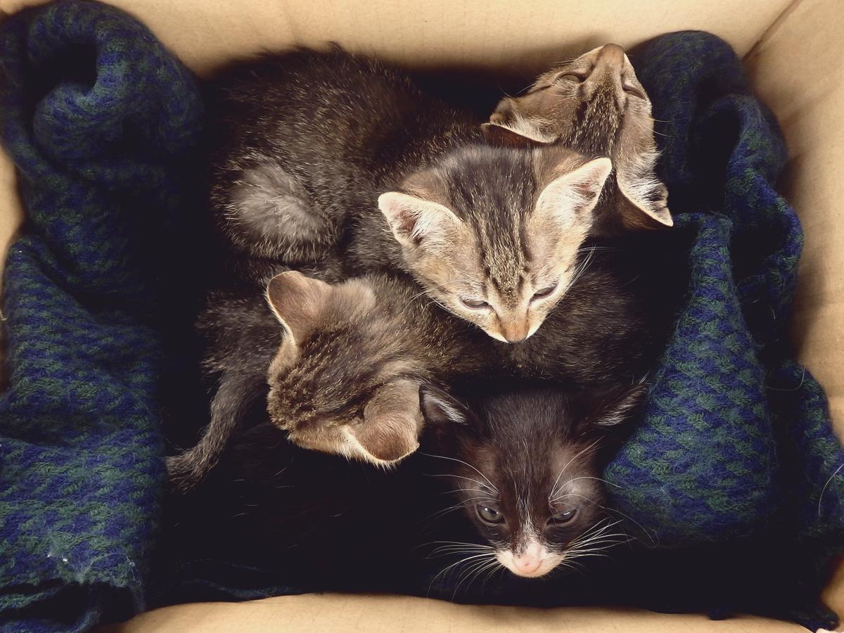 当日は曇だったので寒がる子猫は団子になってねてました。(一般参加の子猫達です)
