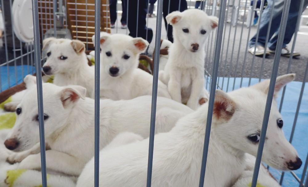 白犬の子犬5匹(生後4ヶ月)