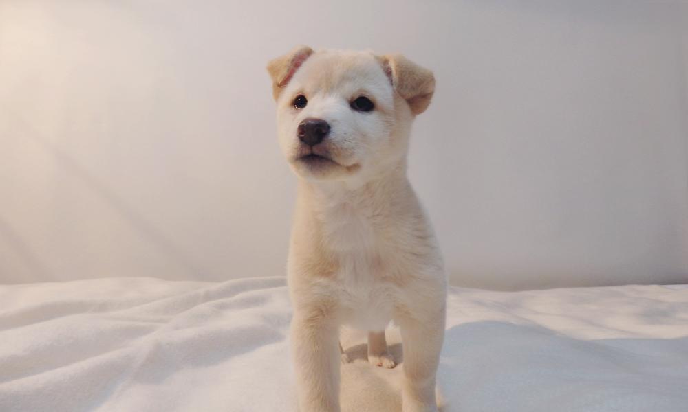 ハナの子犬、ベージュ