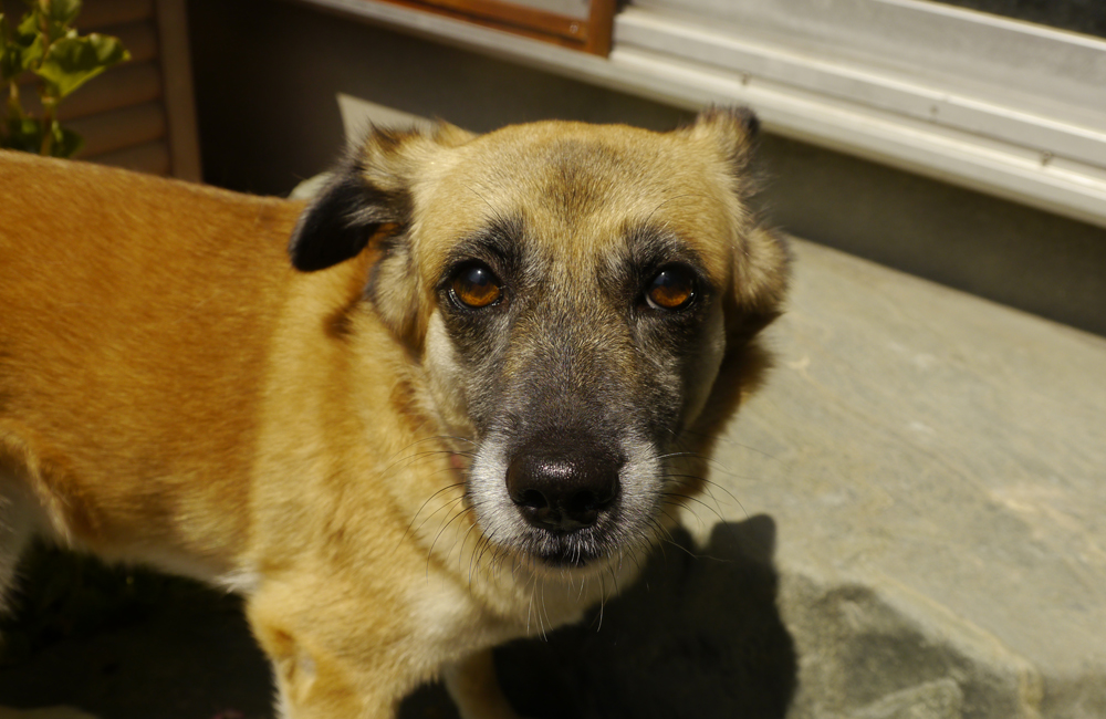保護犬「ふう」ちゃん。預かりボランティアさんのお家にて(2017.08.27)