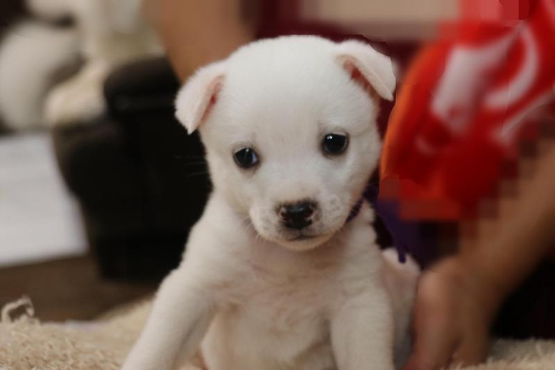 白い子犬のぼぼ