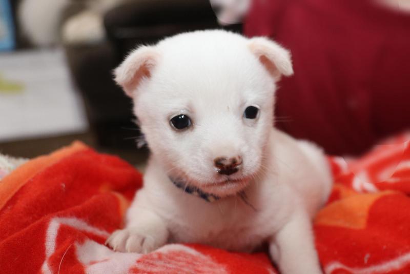 白い子犬のここ