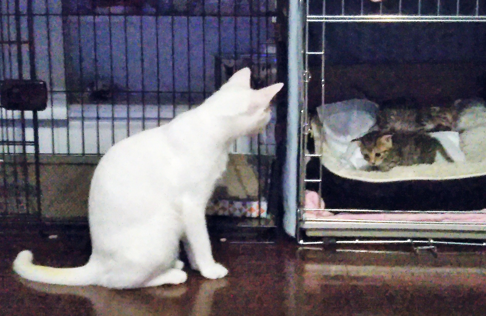 子猫が気になる白猫ももちゃん