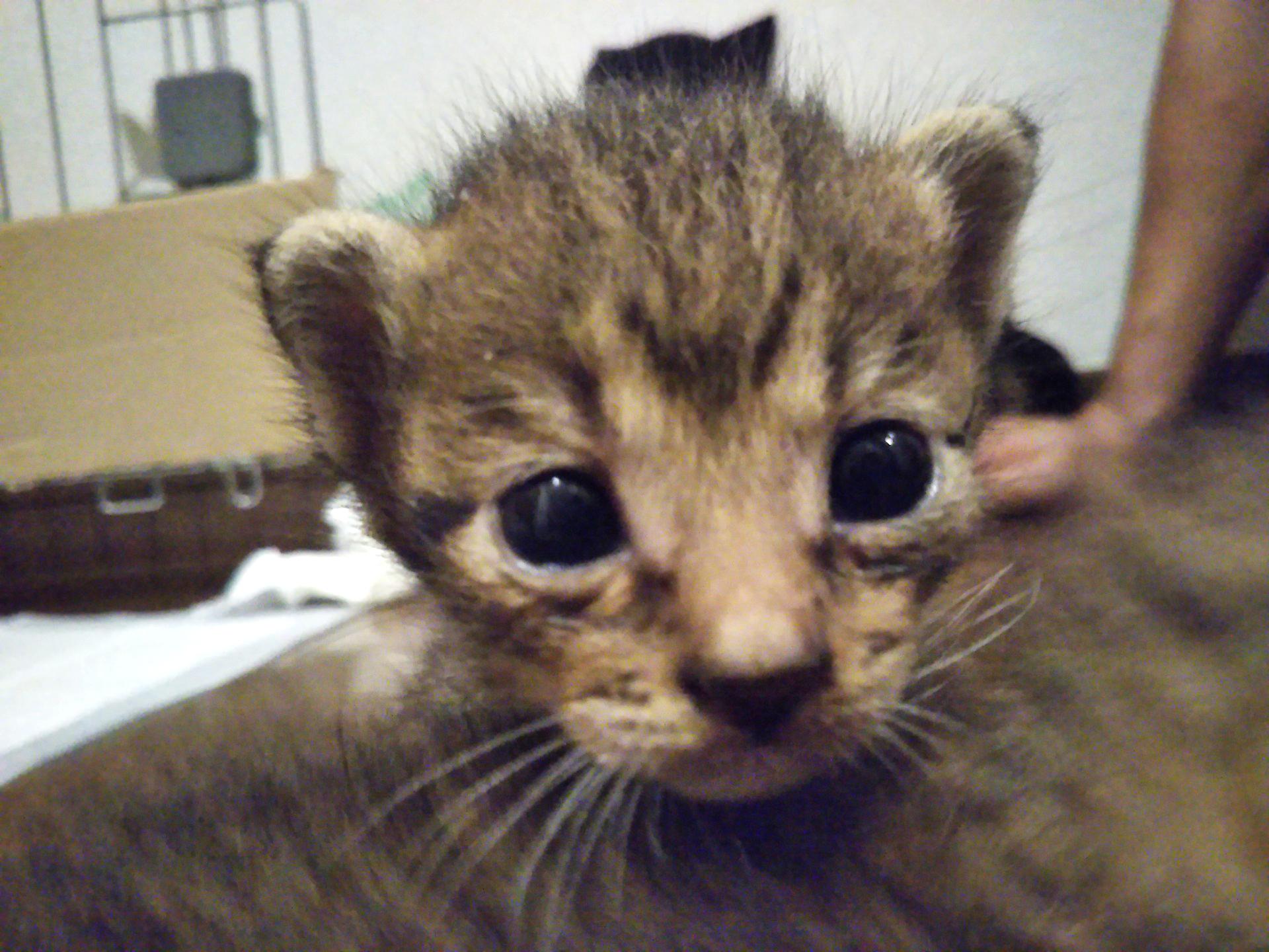 【保護猫】子猫のナナ。里親さん募集中です!