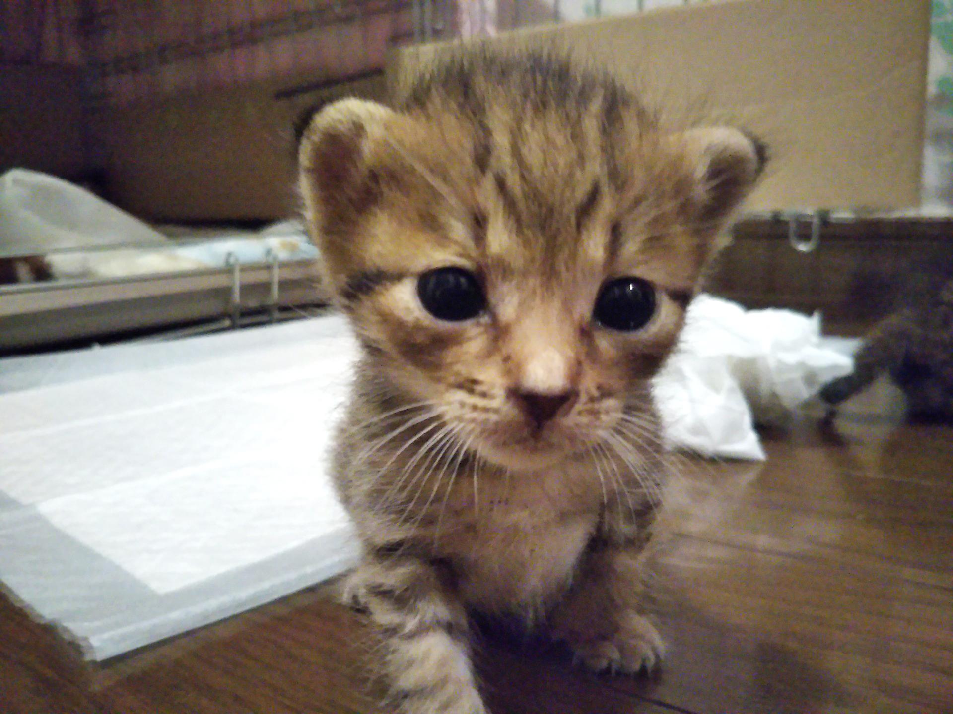 【保護猫】子猫のニコ。里親さん募集中です!