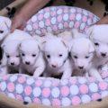 白い子犬の兄弟達、里親さん募集してます。